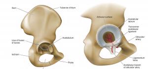 اناتومی حفره لگنی (استابولوم )